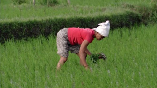 778815322-weeding-bending-paddy-field-cultivation-of-rice